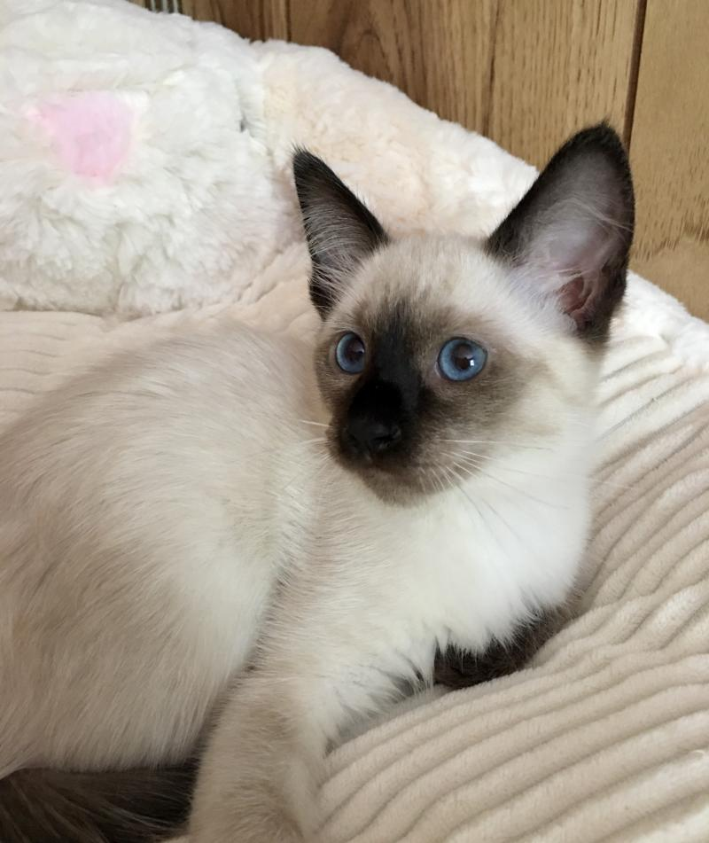 Carolina Blues Cattery Available Kittens