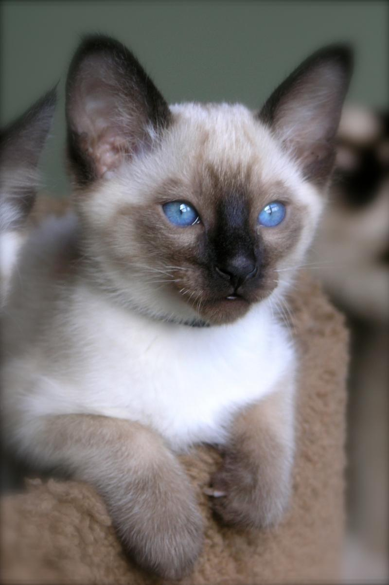 Carolina Blues Cattery - Home